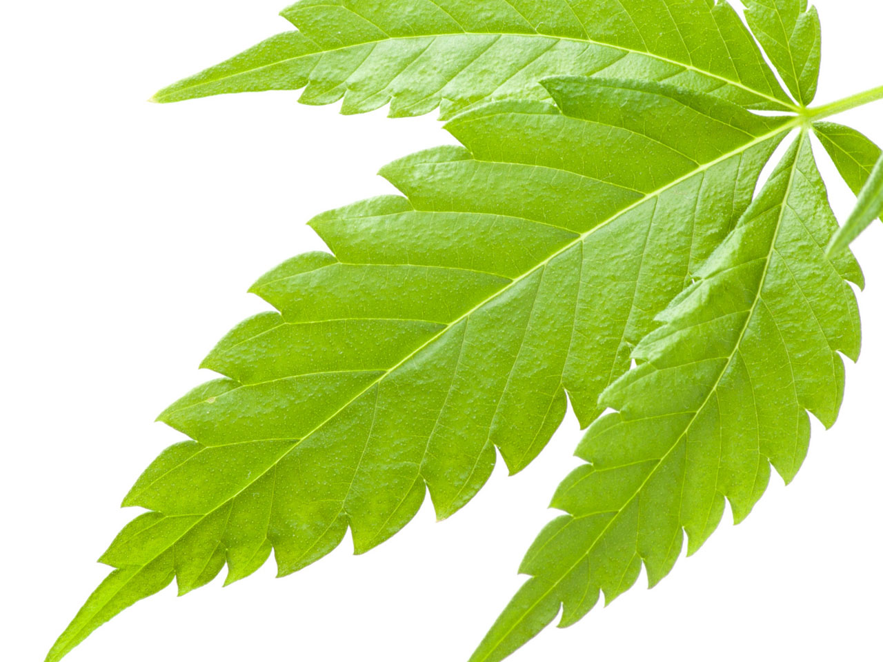 an analysis of the characteristics of marijuana and its effects Though some studies point to negative consequences of pot use in  iq in new zealanders was quickly challenged by a counter-analysis that .
