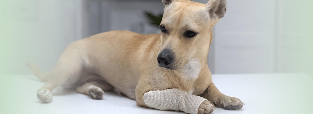 CBD_For_Injured_Pet